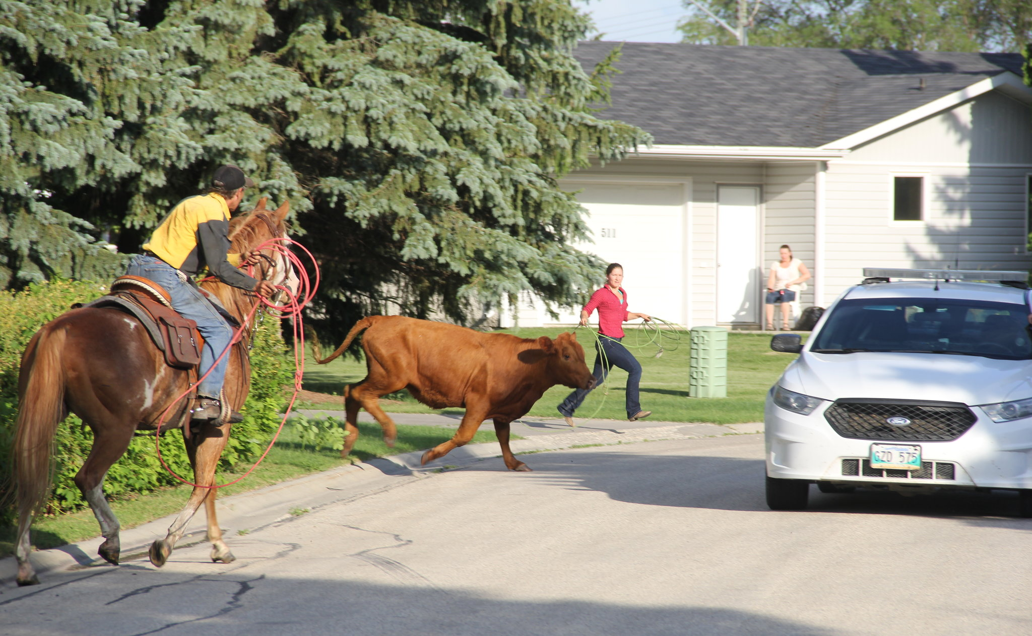 A cow on the run skips through Cottonwood Drive Friday night.