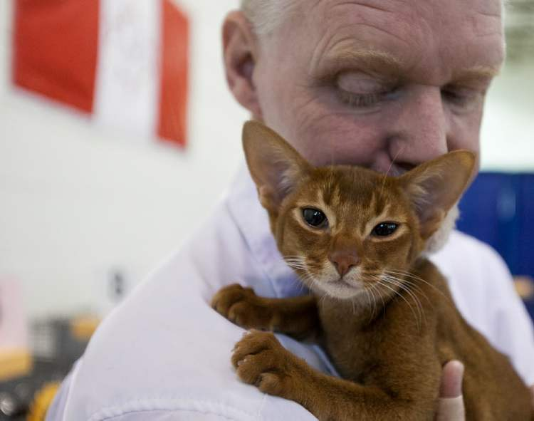 "Kenji, an Abyssinian, held by his owner David Drysdale of Estevan, Saskatchewan, was the top kitten. The Manitoba Cat Club held a ""Catnadian"" themed cat show at Holy Cross Gymnasium on Saturday, June 30, 2012. Over 85 cats of 15 different breeds are entered in a variety of competitions. The show continues until 5 p.m. and Sunday 9 a.m. to 5 p.m. (Melissa Tait / Winnipeg Free Press)"