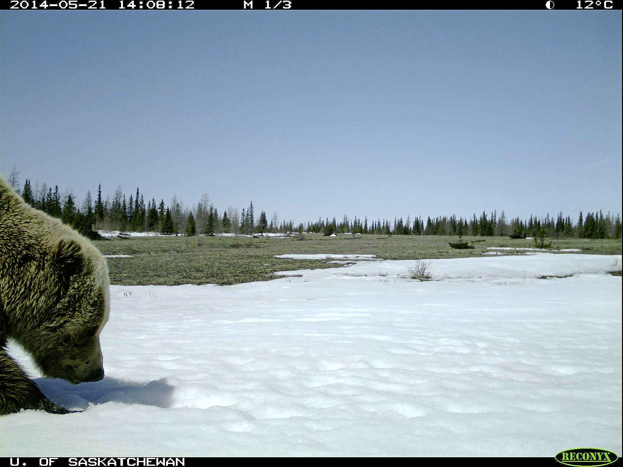 DOUG CLARK PHOTO  A grizzly is caught on a trail cam.