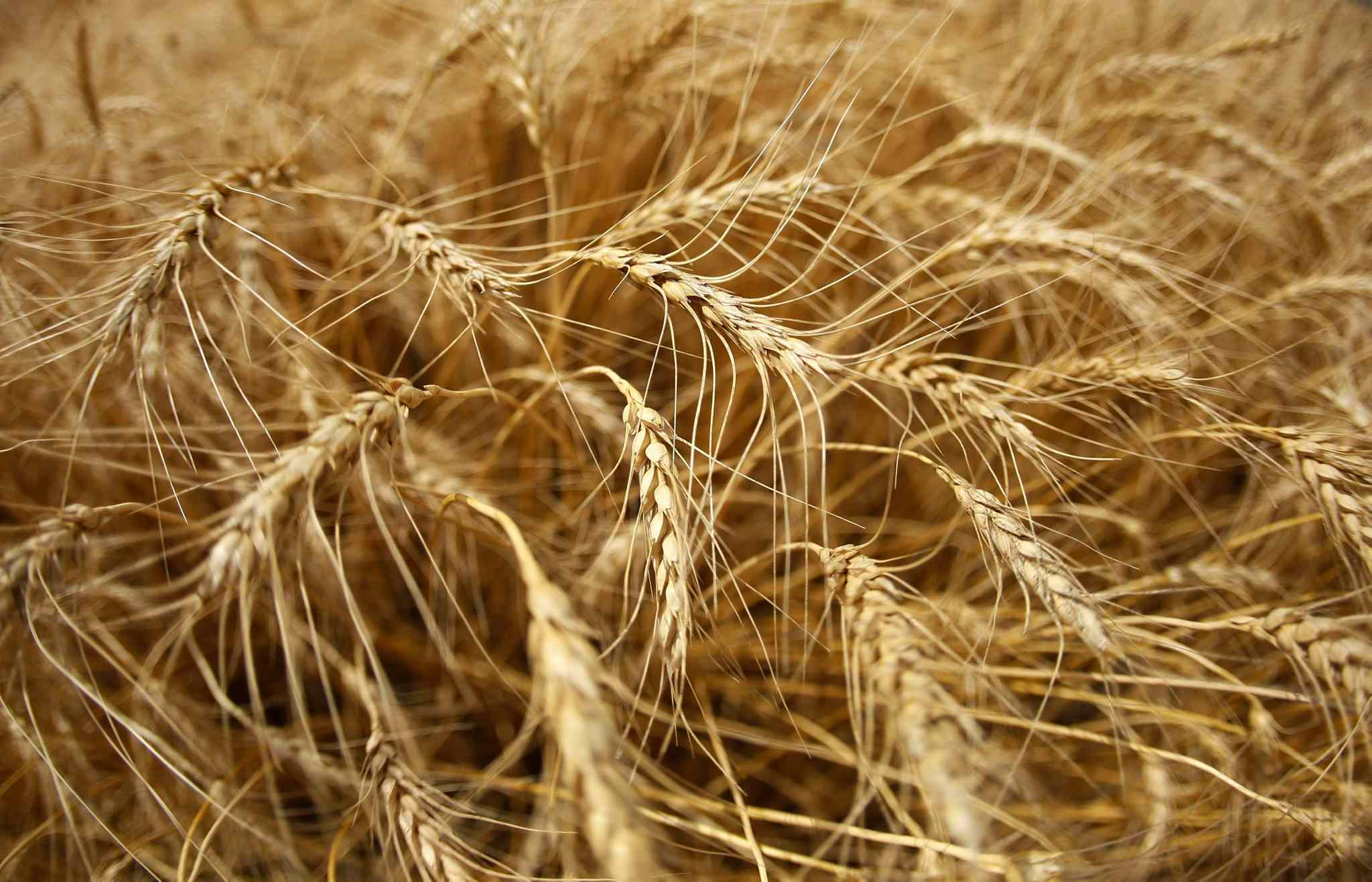 The demand for wheat has peaked according to Dan Basse, president of Chicago-based AgResource Corp.